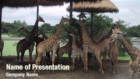 Giraffes in Zoo
