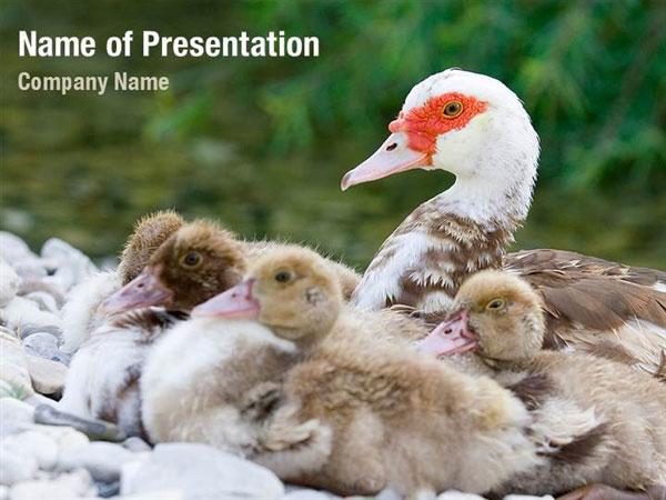 Duck powerpoint template, Duck powerpoint background, Duck powerpoint ...
