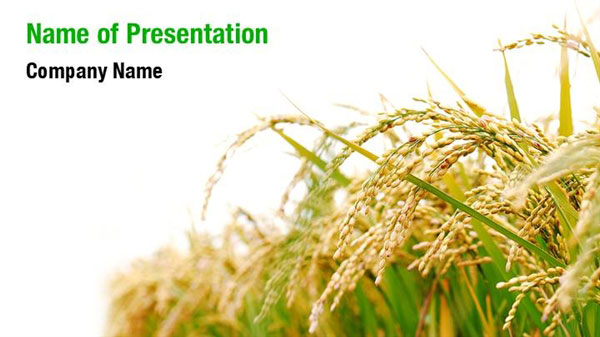 Rice Plant PowerPoint Template Backgrounds